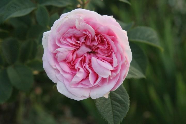 rosa koenigin von danemark1 Rose of the week Koenigin Von Danemark
