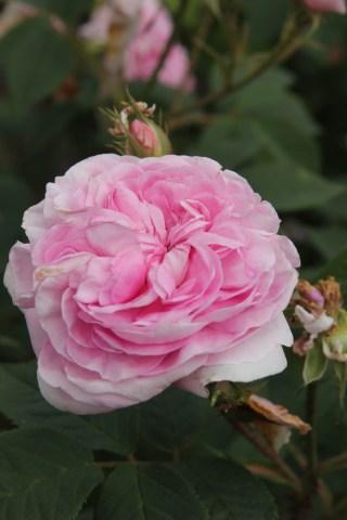 rose konigin von danemark3 Rose of the week Koenigin Von Danemark