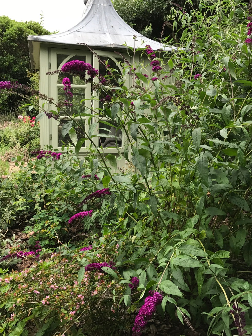 img 0201 Plant of the week  Buddleja davidii Black Knight