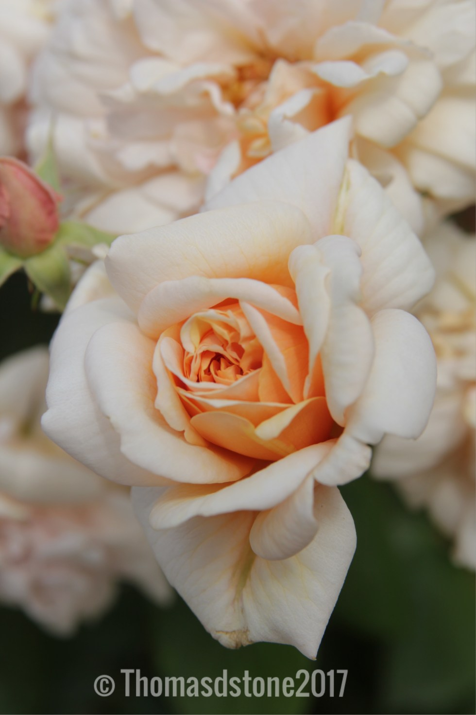 img 0396 Rose of the week   Perle d0r