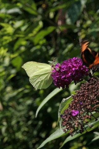 img 5180 Plant of the week  Buddleja davidii Black Knight