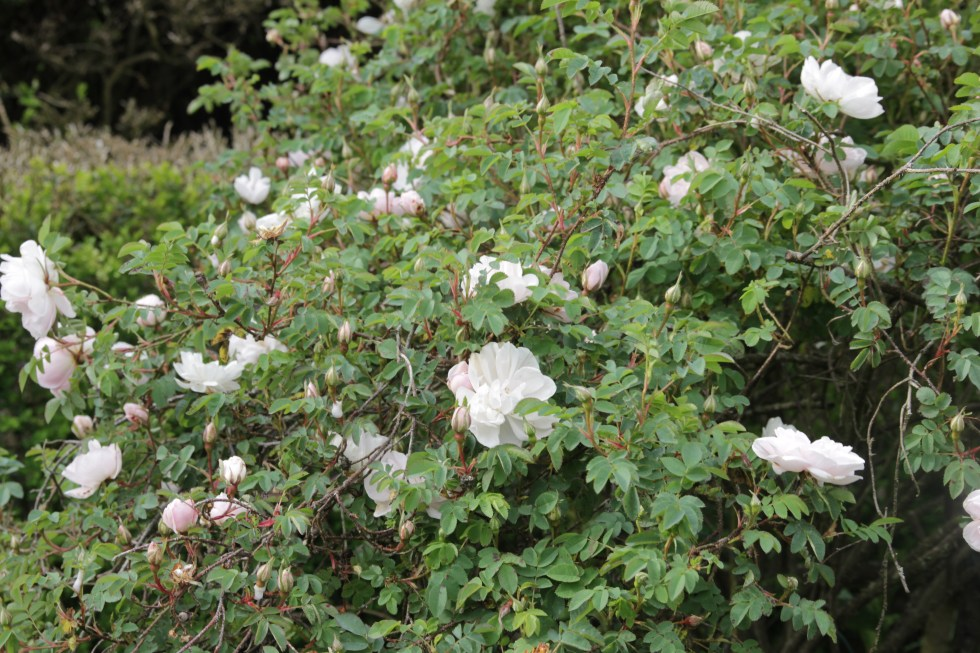 rosa stanwell perpeual Rose of the week  Stanwells perpetual