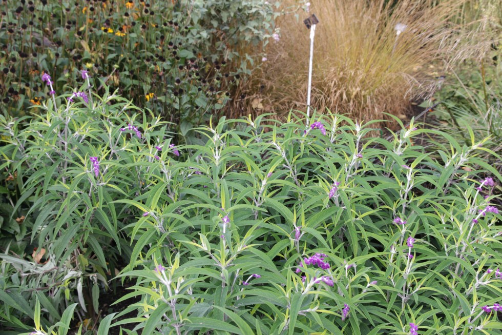 salvia leucantha sant barbara 4 Plant of the week Salvia leucantha 'Santa Barbara'