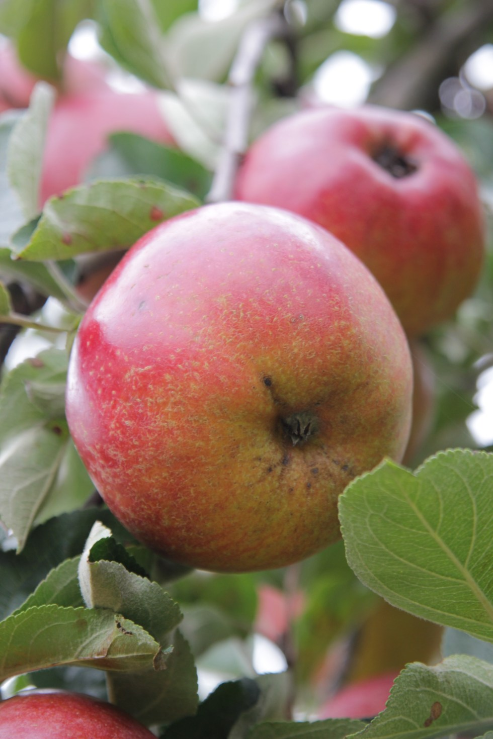 apple william crump 2 National tree week celebrating trees