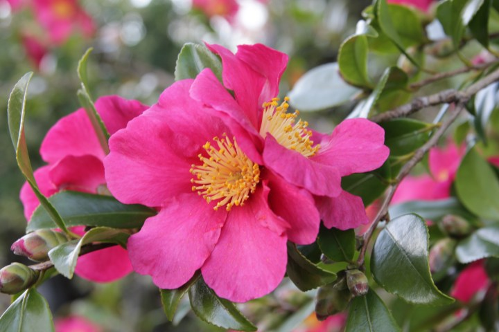 camellia sasanqua crimson king 2 Plant of the week Camellia sasanqua 'Crimson King'