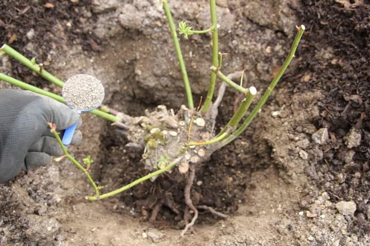 img 3338 Planting bareroot roses