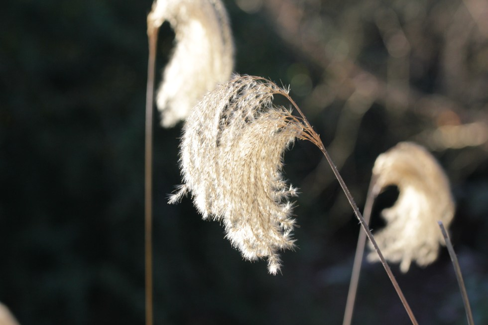 miscanthus nepelaensis 2 Plant of the week Miscanthus nepalensis