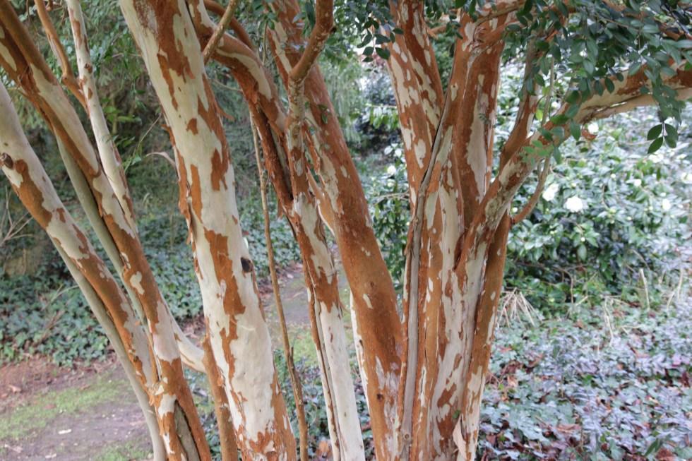luma apiculata 2 Plant of the week  Luma apiculata