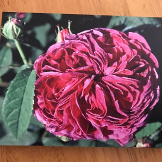 Greeting card featuring Rosa 'Buff Beauty' and Geranium 'Summer Skies