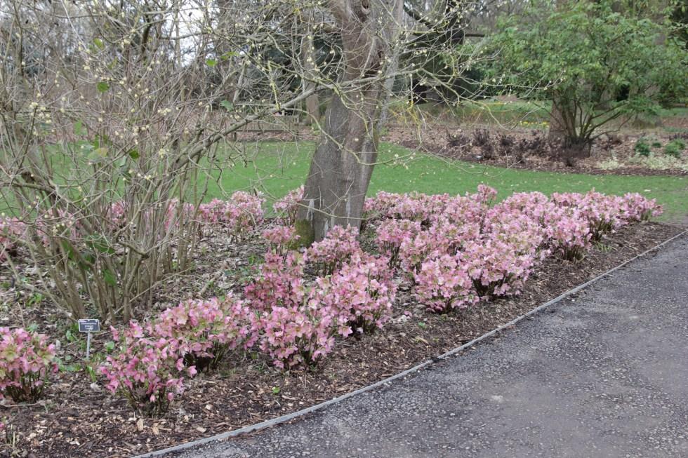 helleborus walbertons rosemary walhero 4 Plant of the week Helleborus x hybridus Walbertons Rosemary Walhero
