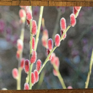 image 2 Greeting card featuring Salix chaenomeloides 'Mt Aso'