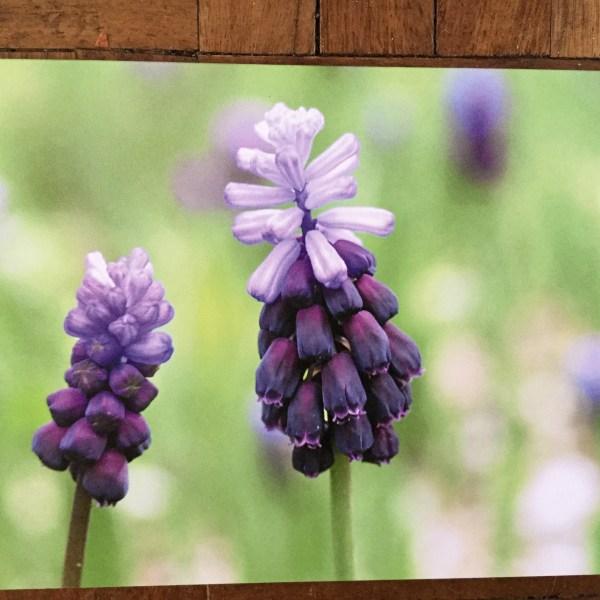 image 3 Greeting card Muscari latifolium
