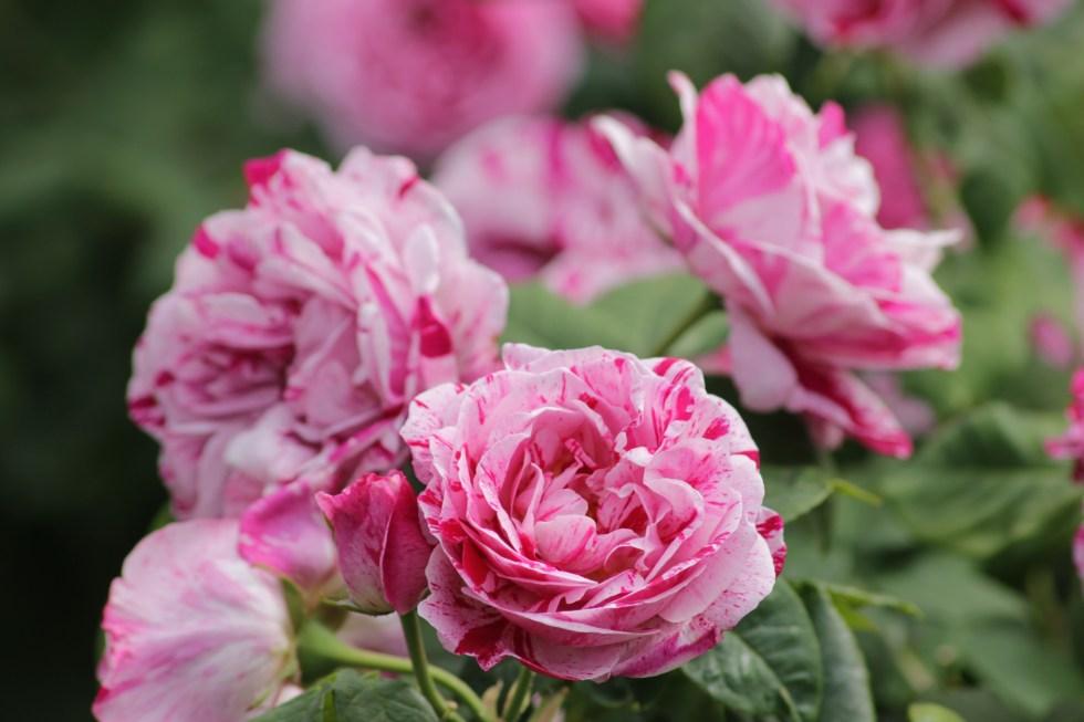 rosa ferdinand picard1 Happy New Year!