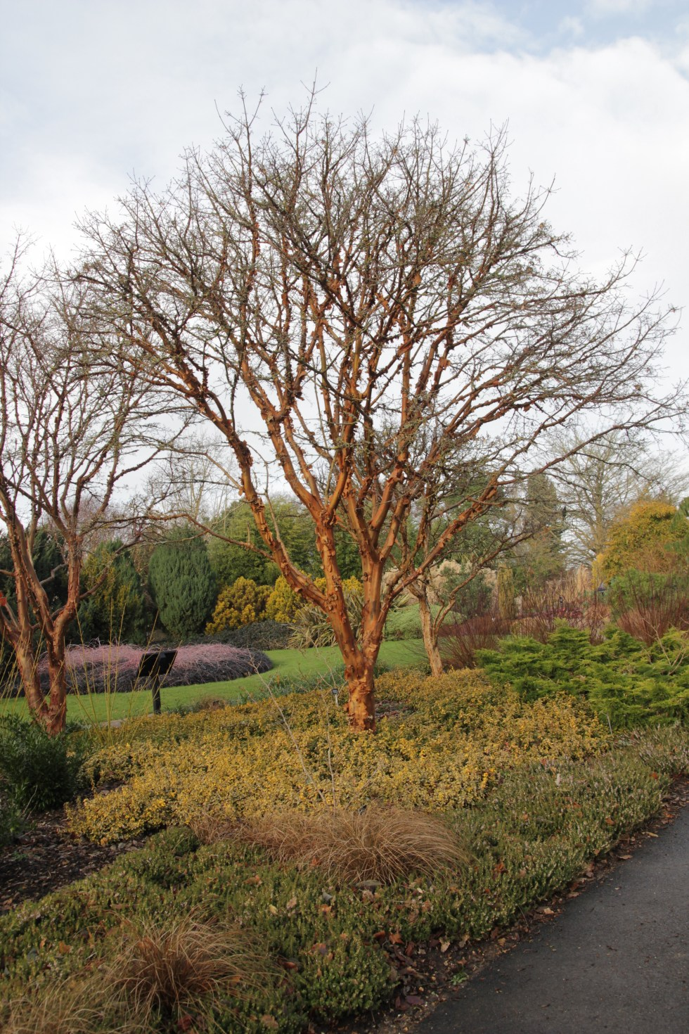 acer griseum Plant of the Week Acer griseum