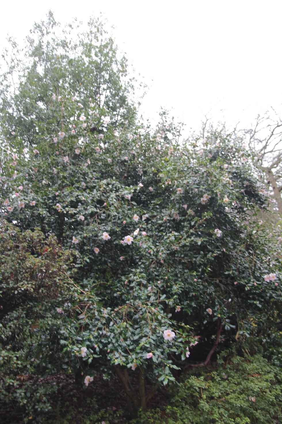 camellia x williamsii j c williams Plant of the week  Camellia x williamsii 'J C Williams'