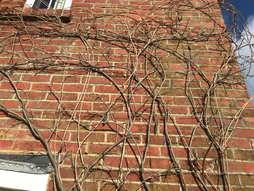 img 1902 Pruning Wisteria