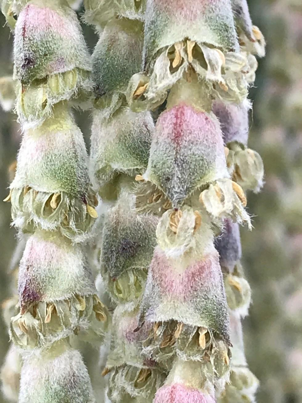 img 1993 Plant of the week: Garrya elliptica 'James Roof'