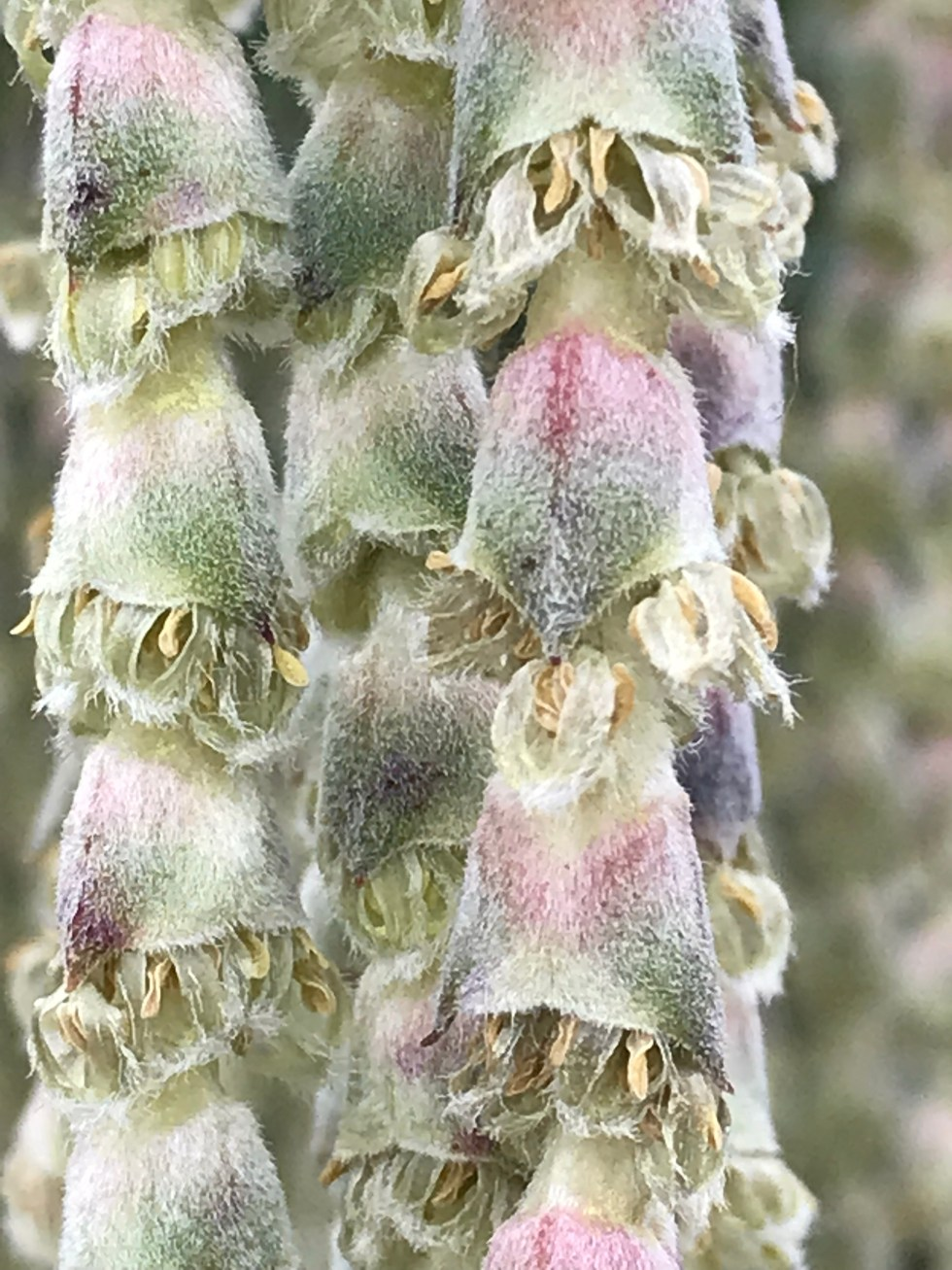 img 1993 Plant of the week: Garrya elliptica 'James Roof'
