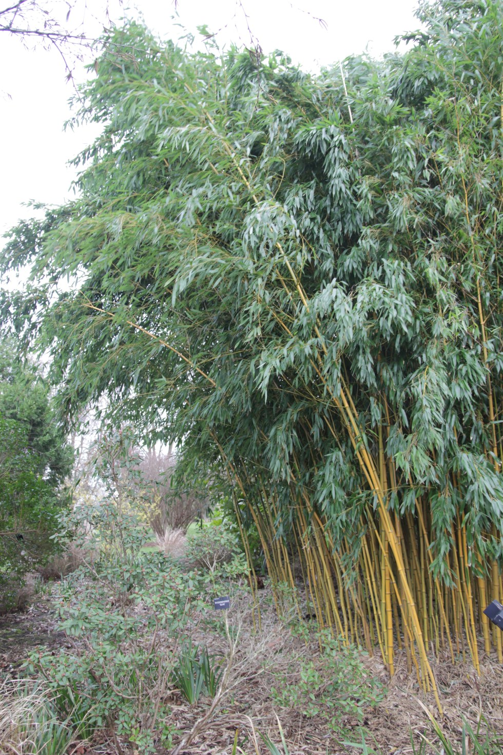 phyllostachys aureosulcata specabilis Plant of the week Phyllostachys aureosulcata f. spectabilis