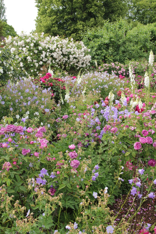 Under Planting Roses Part 1 The Reasoning Behind Its Thomas