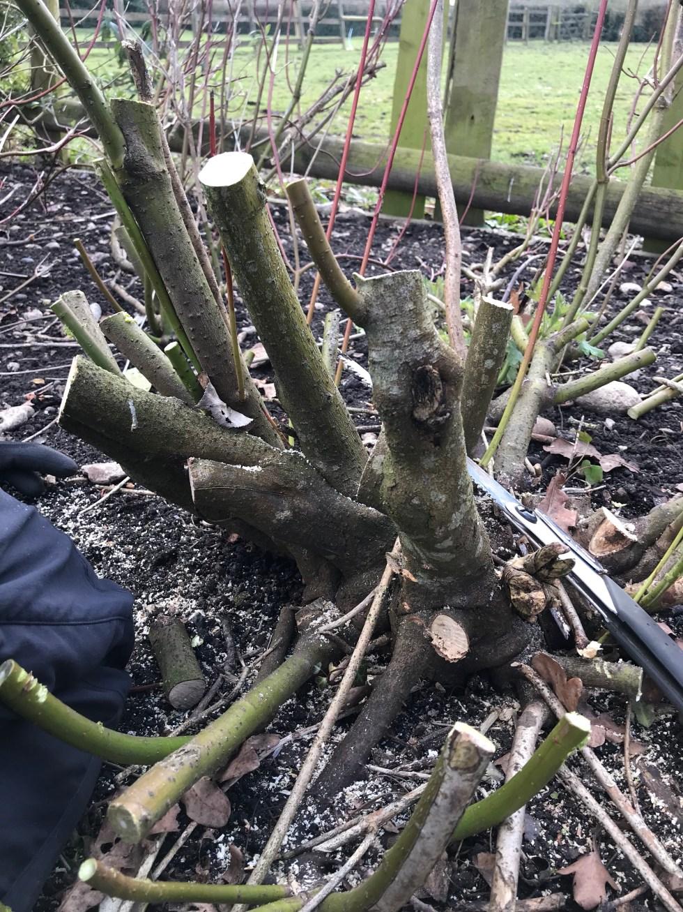img 2363 Pruning back dogwoods/Cornus  for stem colour