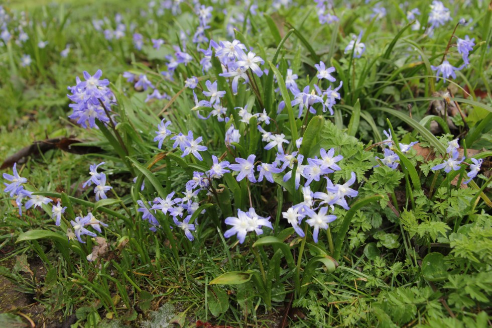 img 4482 Plant of the week  Chionodoxia luciliae