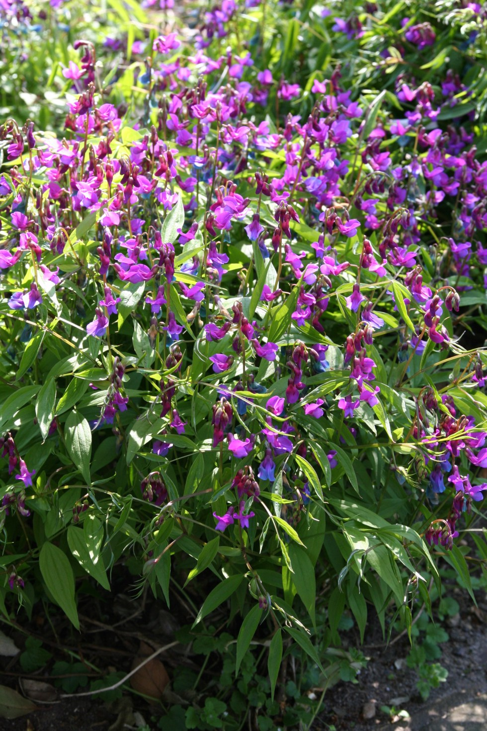 lathyrus vernus Plant of the week  Lathyrus vernus