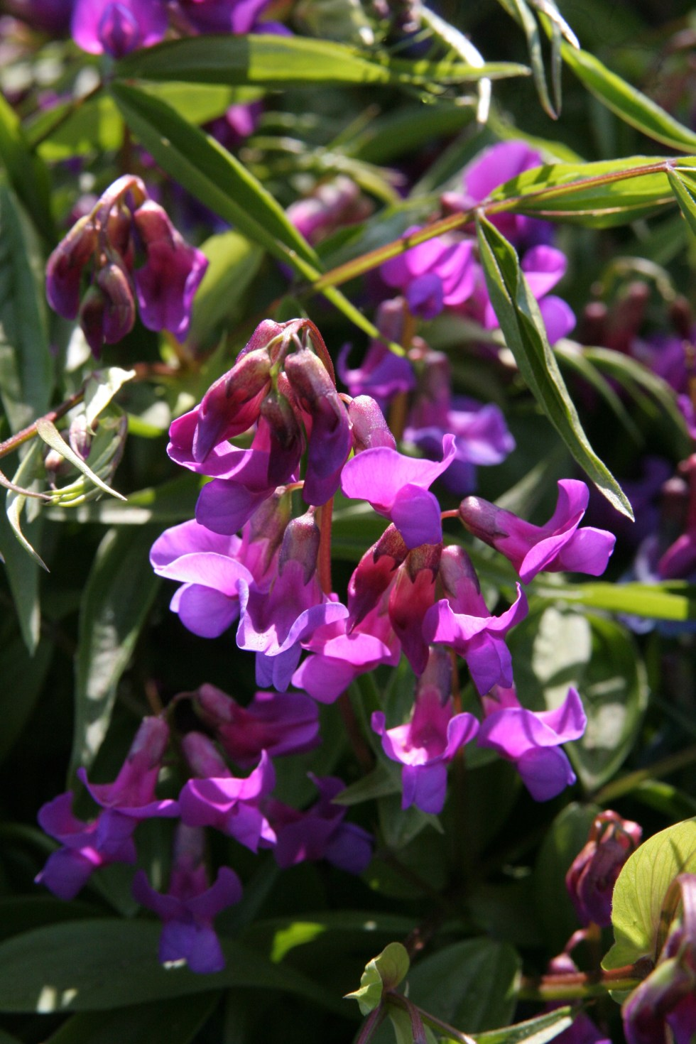 lathyrus vernus1 Plant of the week  Lathyrus vernus