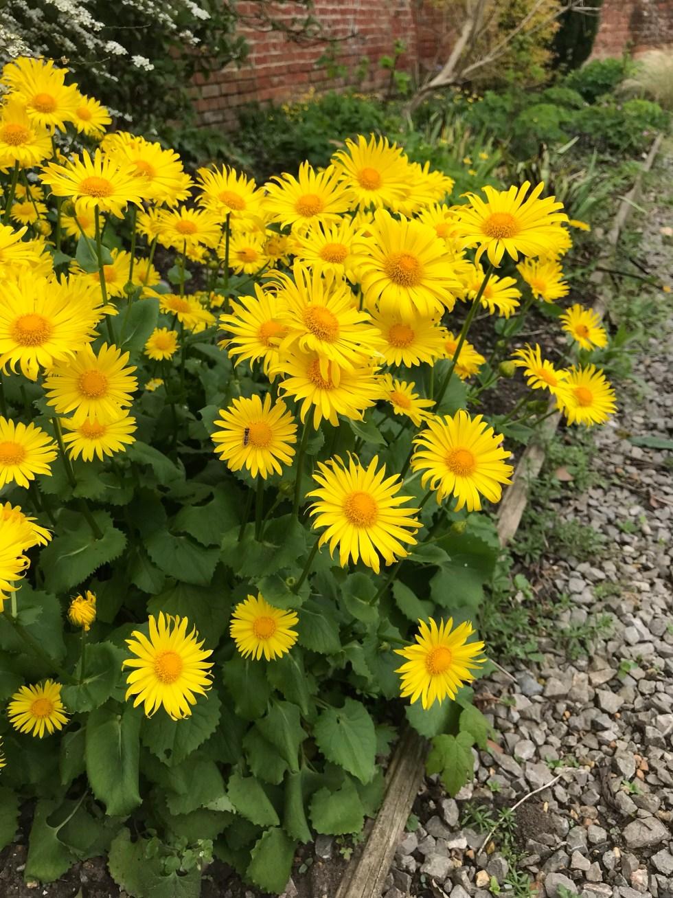 img 2673 Plant of the week Doronicum 'Miss Mason'