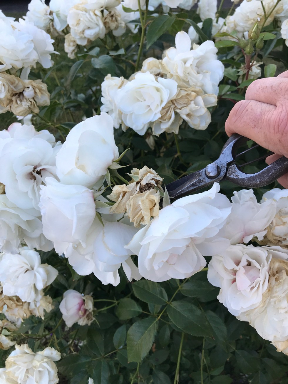 2552824e 65ca 47d5 a068 7c590287c908 9665 000006feca903af7 file Dead heading and summer pruning on roses