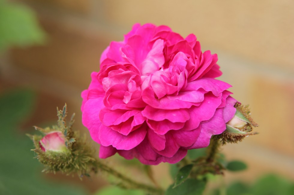 little gem The glory of the moss roses