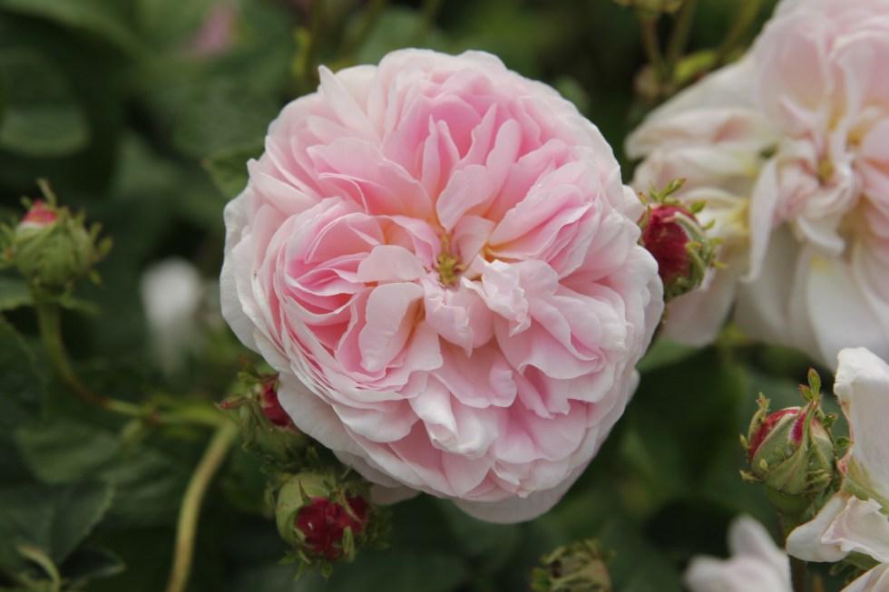 rosa belle isis3 Gallica roses, forgotten gems