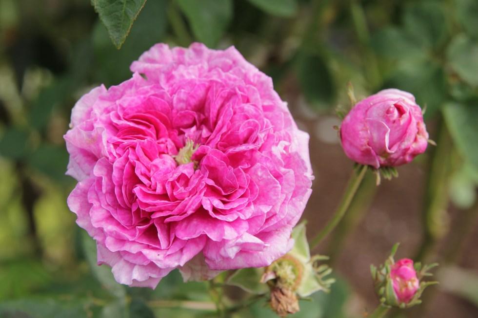 rosa lycoria2 Gallica roses, forgotten gems