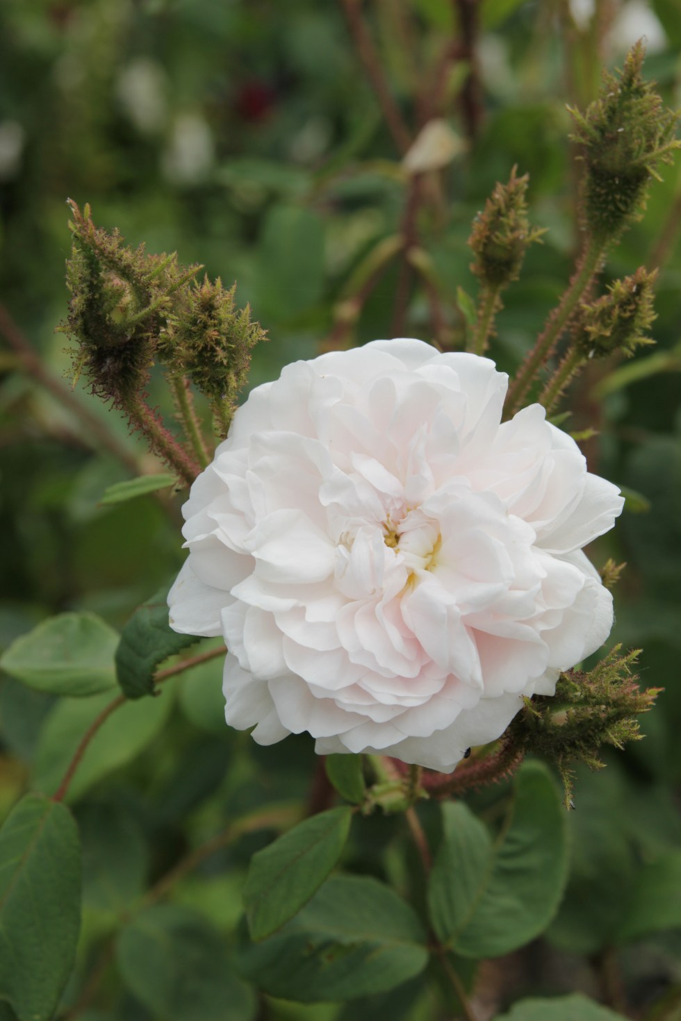 rosa shailers white muscosa alba1 The glory of the moss roses