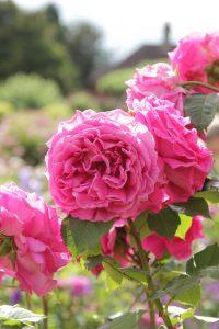 Rosa Isaac pereire e1544509128900 200x300 Rosa Madame Isaac Periere