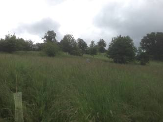 Planted Oaks