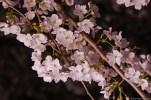 Chidorigafuchi Yozakura (千鳥ヶ淵・夜桜)