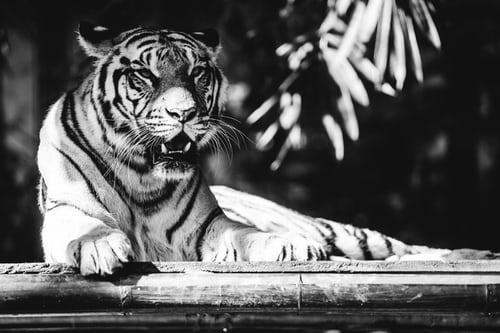 Vær som tigeren, der ikke tænker over sine striber. Tigeren der stoler på, at den har ressourcerne til at klare hvad der end måtte opstå fra øjeblik til øjeblik