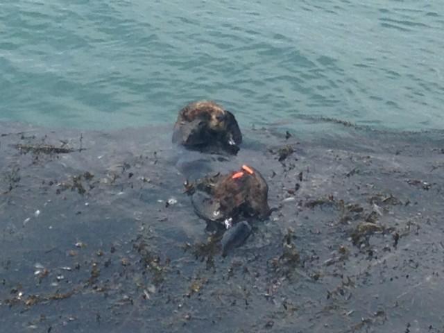 #RunningTo: Sea Otter