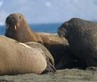 walrus 3