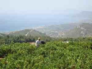 Samos, des muscats de légende