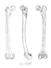 femur osteologie