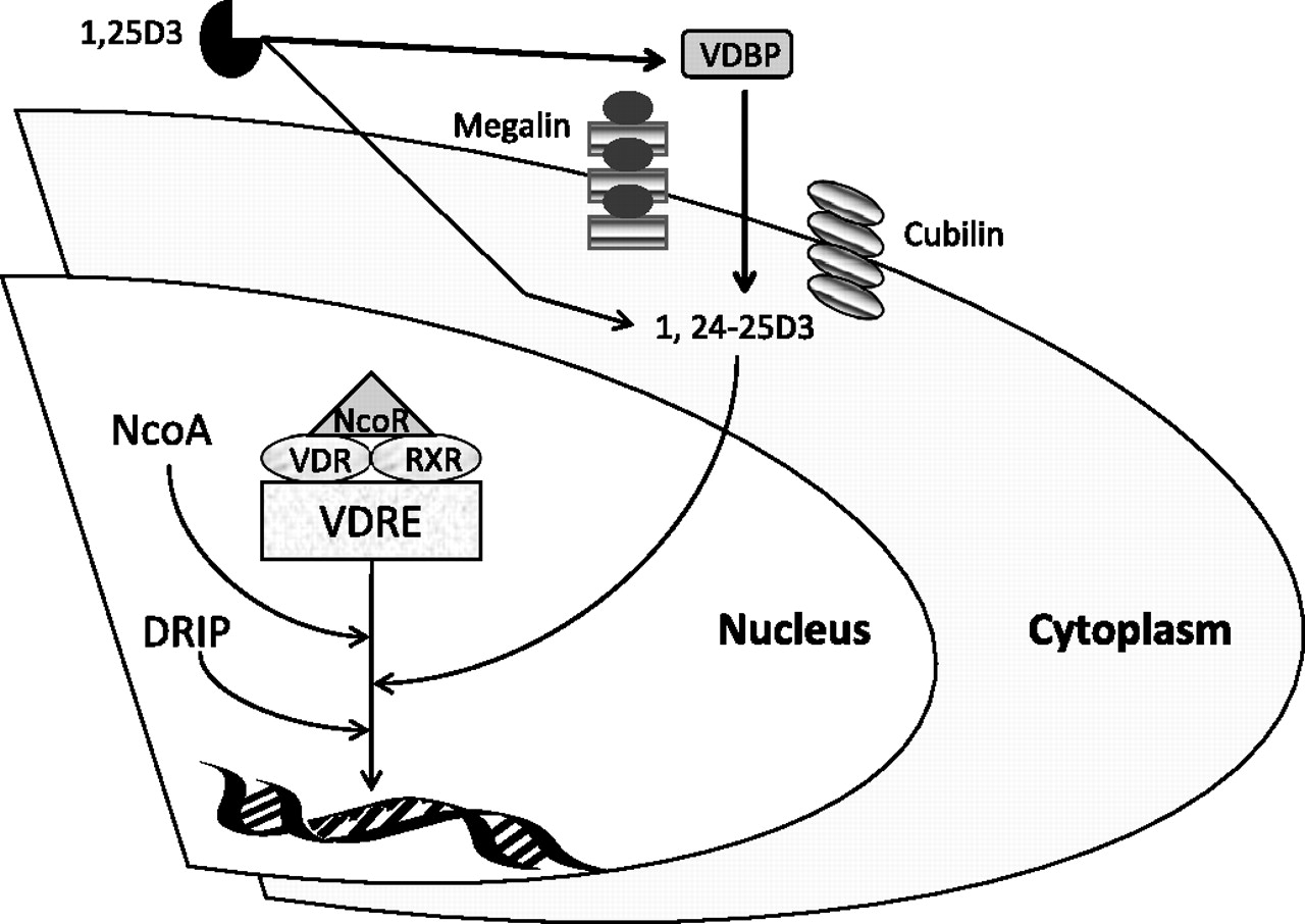 The Vitamin D Axis In The Lung A Key Role For Vitamin D