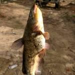 Bull head catfish caught at Heads Creek Reservoir