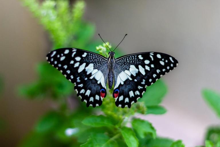 A black, white, red, and blue butterfly.