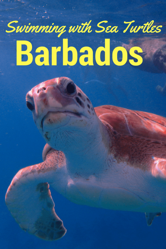 Swim with sea turtles and snorkel shipwrecks and coral reefs in Barbados with Calbaza Sailing Cruises