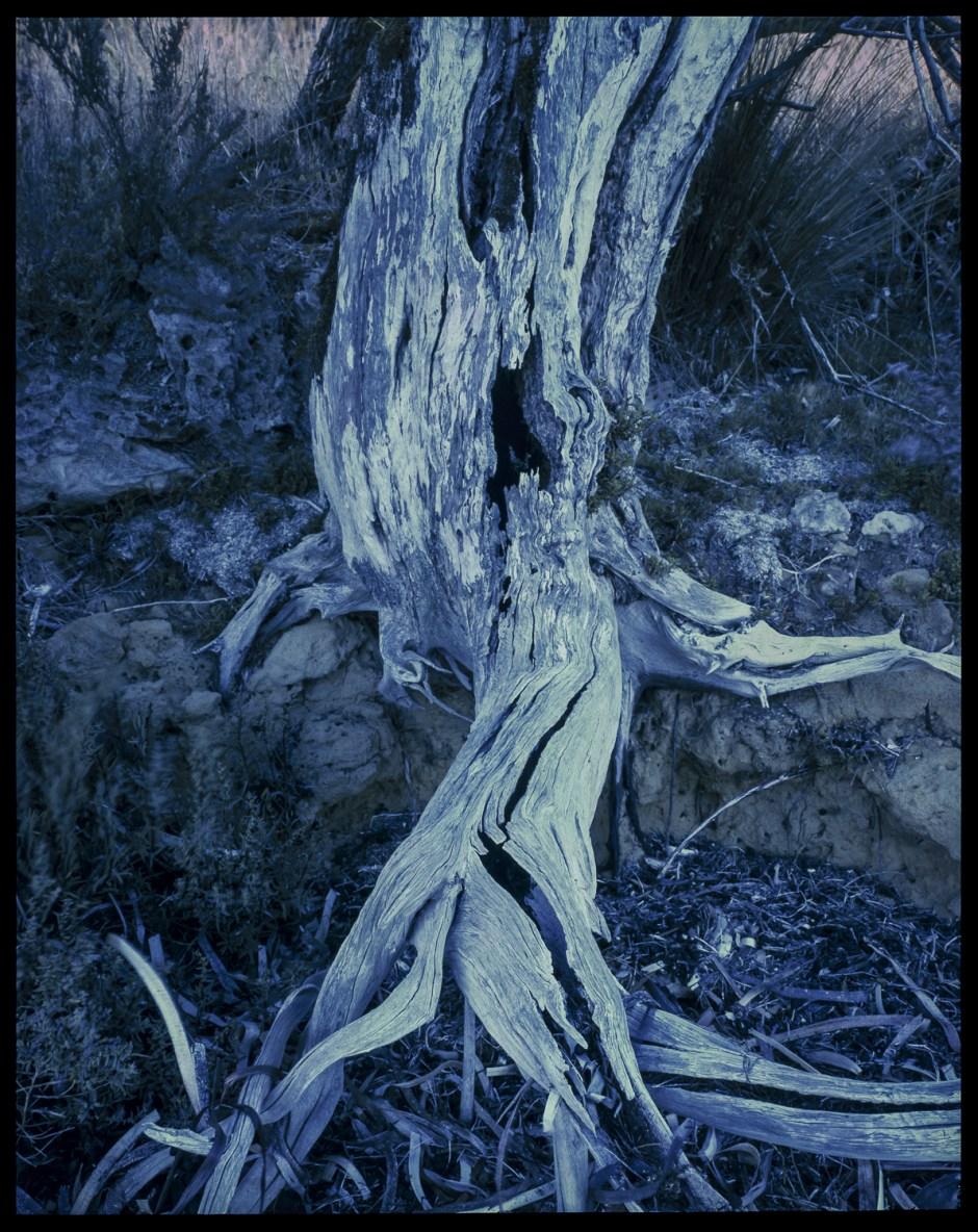 tree E6, Kangaroo Island