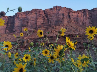 Desert sunflowers along the Colorado River