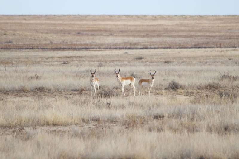 Pronghorn on the way home