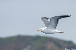 Seagull, Brown Pelican, Channel Islands National Park